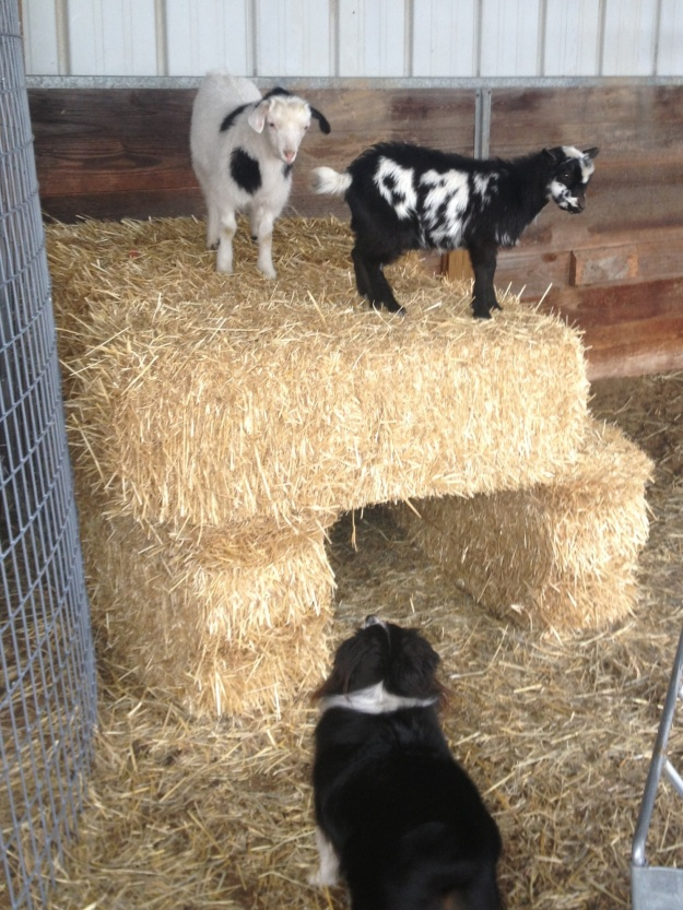 Wylie, William and Bill (Nigerian Dwarf goat)