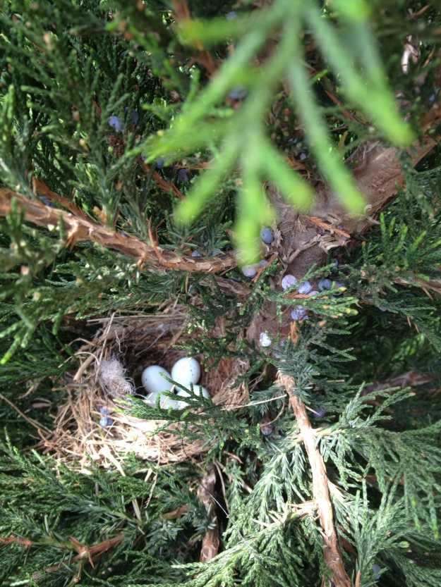 I have been watching a pair of House Finches building a nest in the evergreen just outside the window in the great room.   How exciting to see that there are 4 eggs in it.