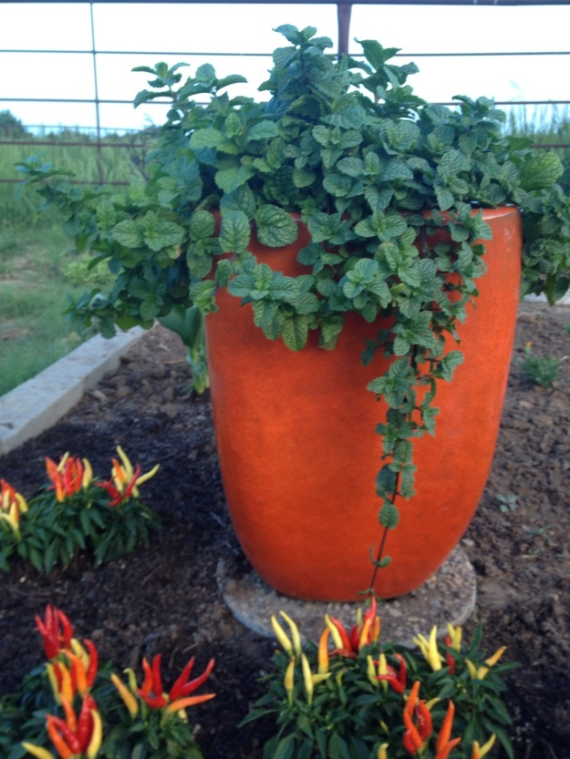 I love mint, but it is too invasive to plant in the garden.  This year I put my mojito mint in this beautiful orange ceramic pot.   Mojitos are my favorite summer drink, looks like with all this mint, I will have LOTS of mojitos!  I planted the colorful ornamental peppers and a yellow canna to further accent the pot.