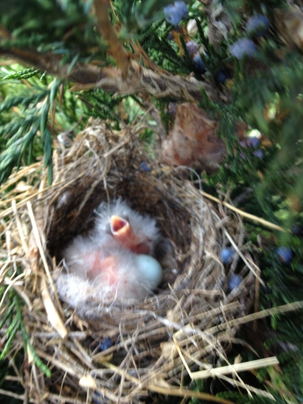 The baby House finches are hatching. They look like little fluffy dandelions. A couple of days ago we had a storm with 60 mph winds, and I was so happy that they were able to ride out the storm.