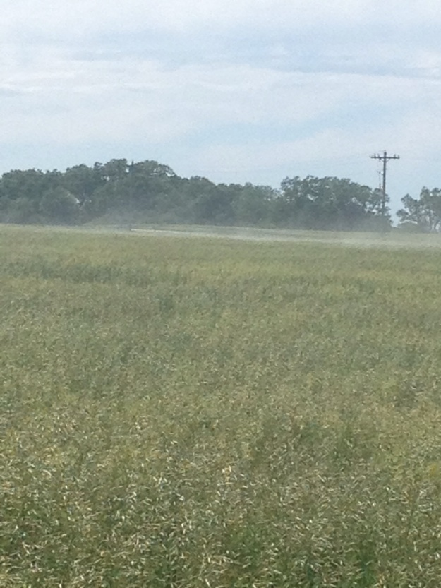 This is not dust.  The brome is blooming.  Wylie and I were both sneezing taking this photo.